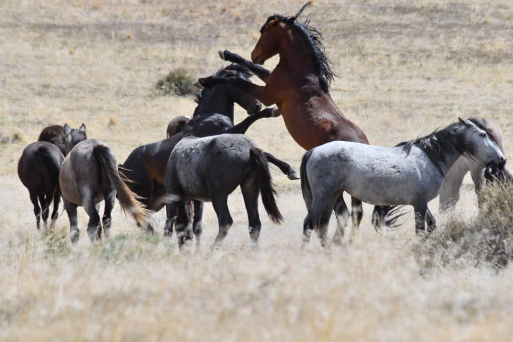 Stallions spare for the attention of the mares in the herd.  (Nikki Dorber / The Signpost)
