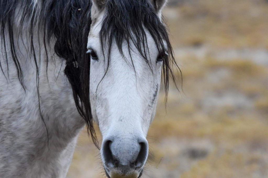 A Spanish Grey wild horse takes a break from grazing, curious about what she is seeing.  (Nikki Dorber / The Signpost)