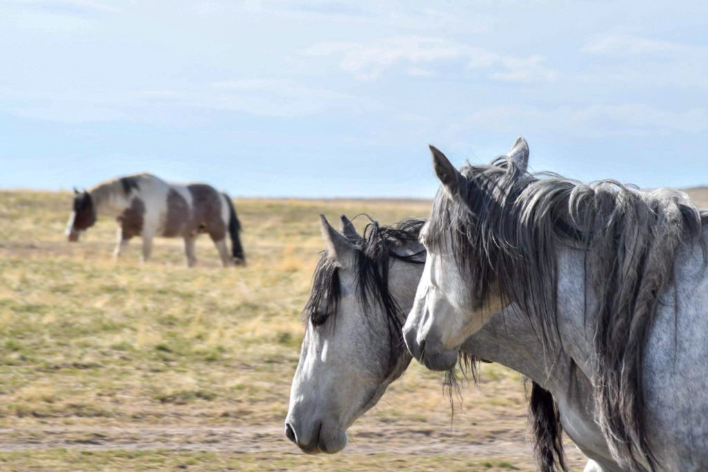 Twin Appaloosa mares enjoy the warmth of the hot sun.  (Nikki Dorber / The Signpost)