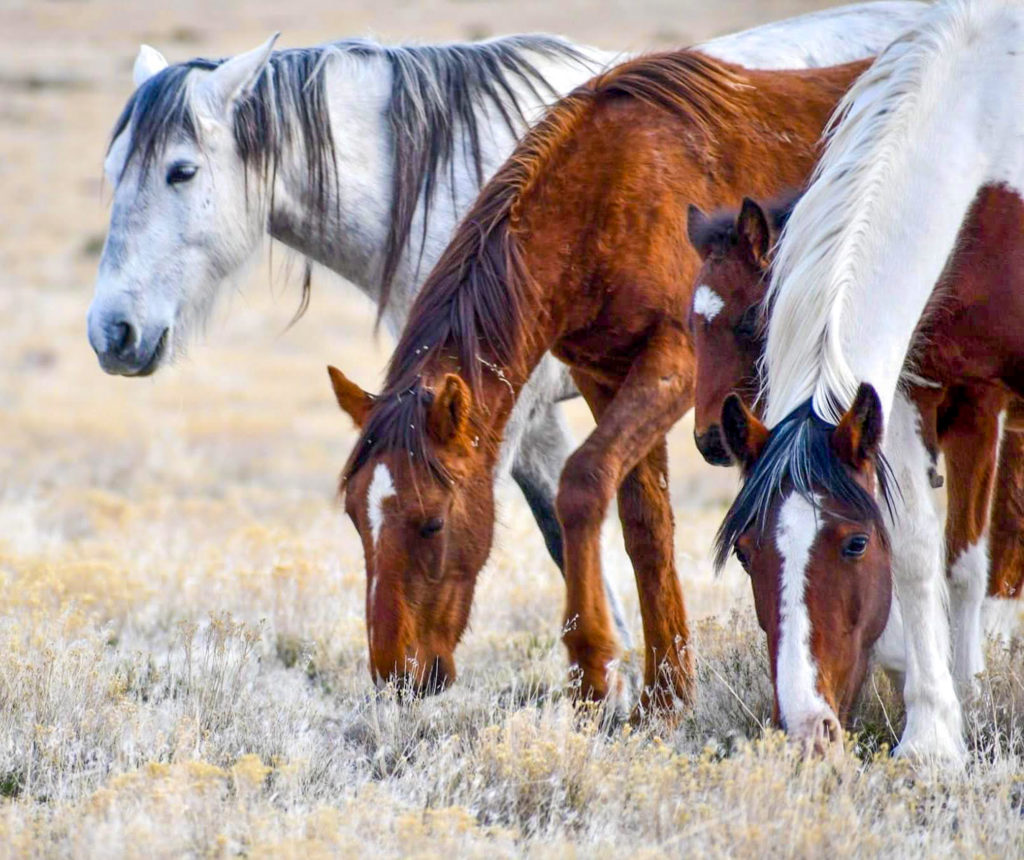 Mares stand in clusters while stallions spar for their attention.  (Nikki Dorber / The Signpost)