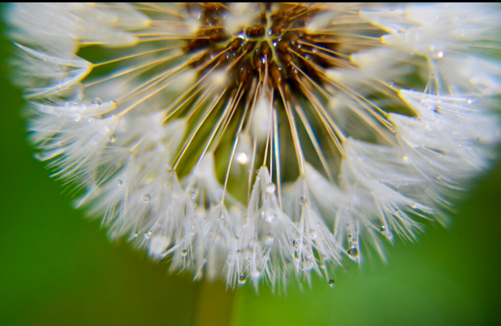 A dandilion represents the 'military brat' due to the seeds not being firmly in place.  They float with the wind, which is metaphorically what military children do as well.  (Nikki Dorber / The Signpost)