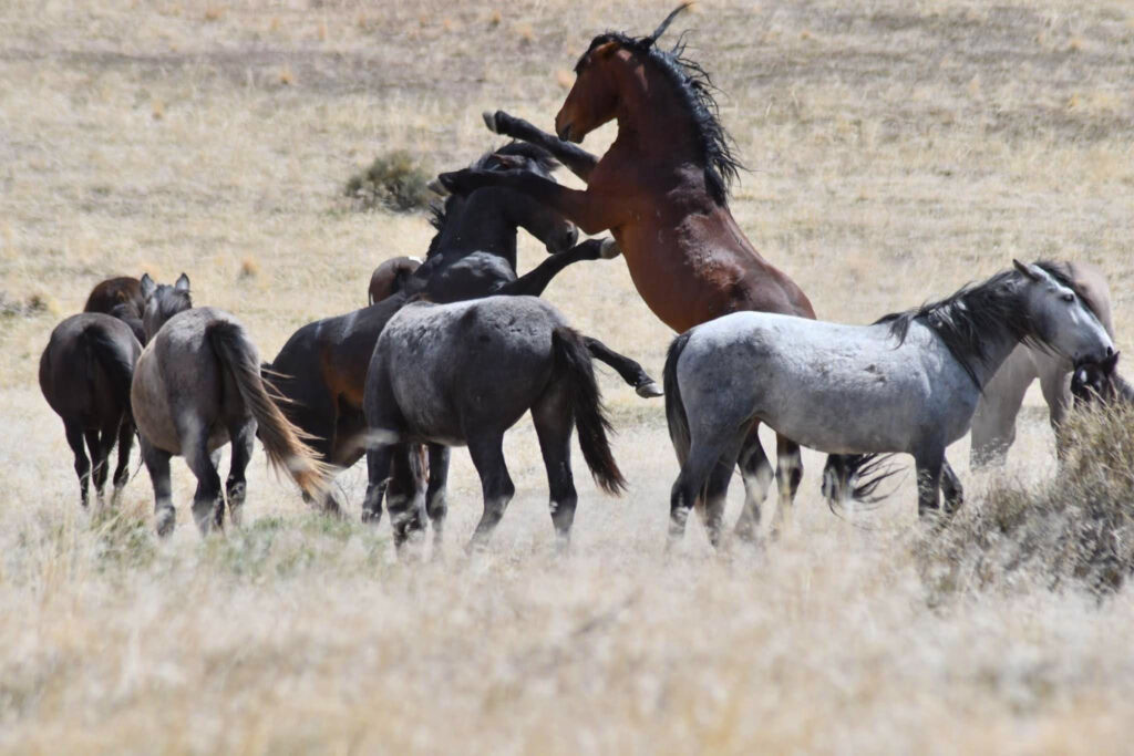 Wild horses of Utah are known for their majesty, tenacity and grit.  They are a fierce competitor to each other, fighting to make their way into the herd as the alpha male.  (Nikki Dorber / The Signpost)