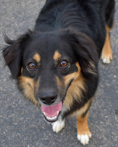 Millie, an Australian Shepherd, smiles for the camera at the park where her puppy friend's birthday party is being held. (Paige McKinnon/The Signpost)