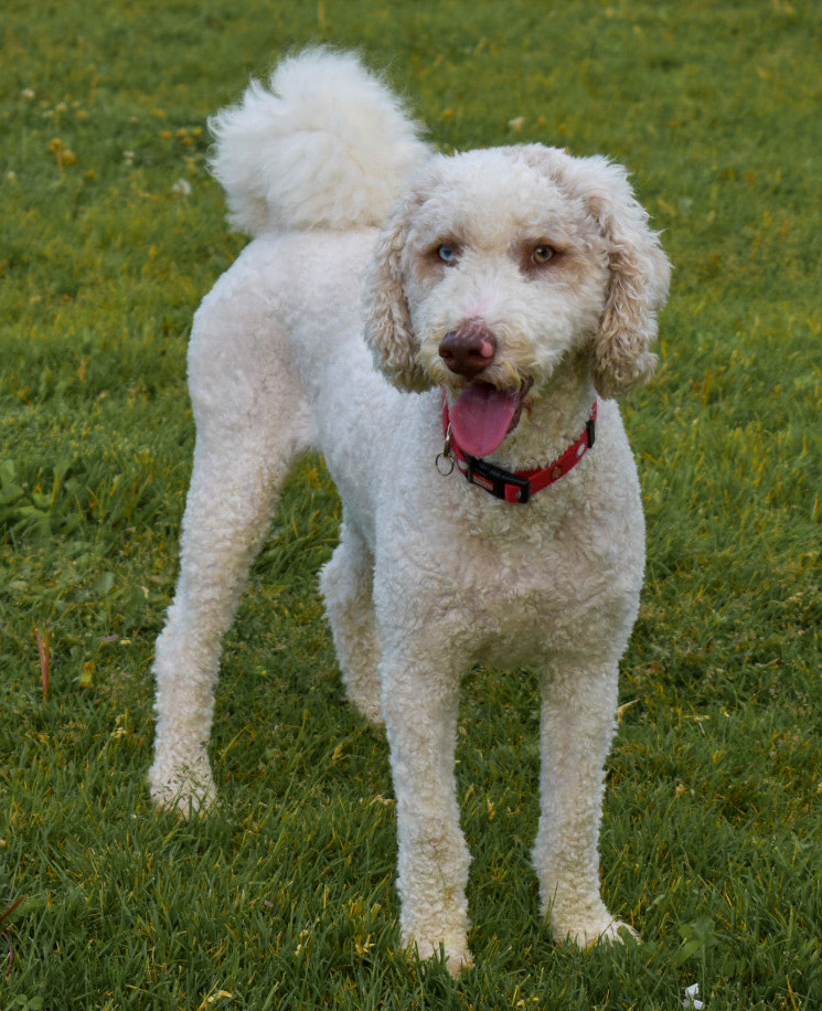 Phoebe, a Goldendoodle, poses for the camera at her dog friend's birthday party. (Paige McKinnon/The Signpost)