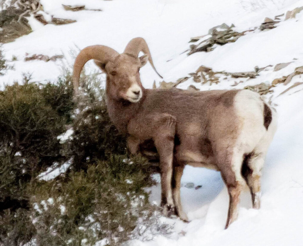 A rocky mountain sheep is eating sagebrush in the Rocky Mountains. Rocky mountain sheep are found along the rocks and cliffs of Utah's mountains.Nikki Dorber/The Signpost