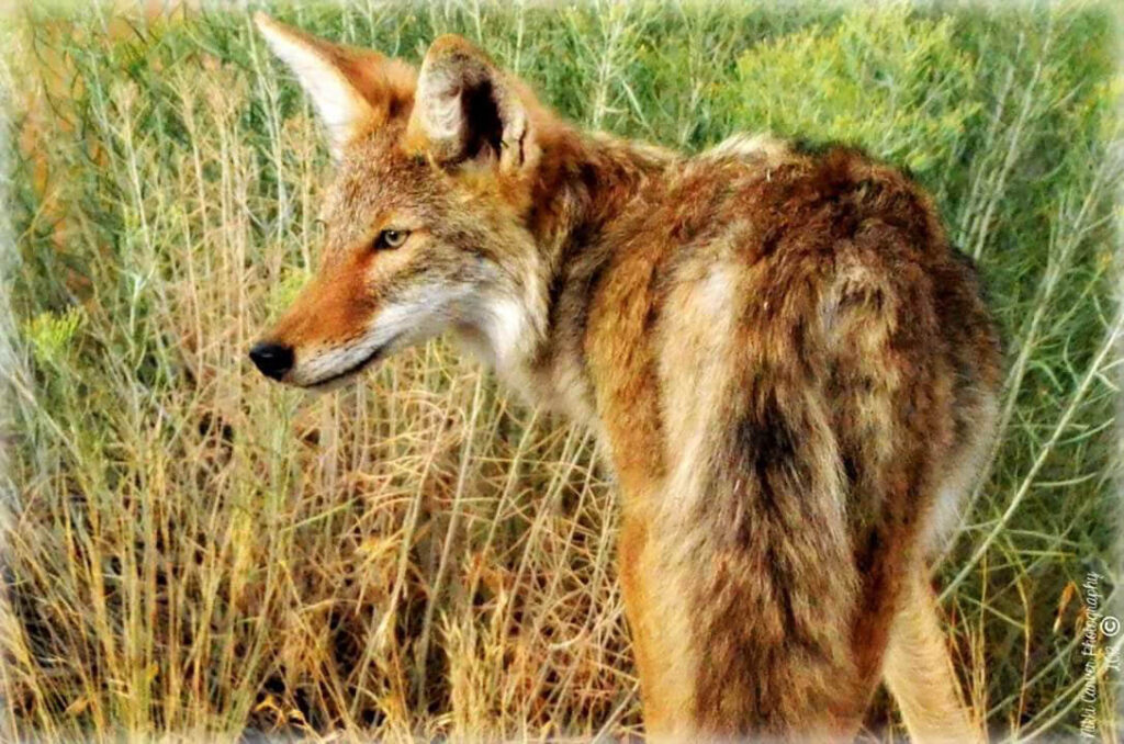 A coyote is on the hunt in the Wasatch Mountains. Nikki Dorber/The Signpost