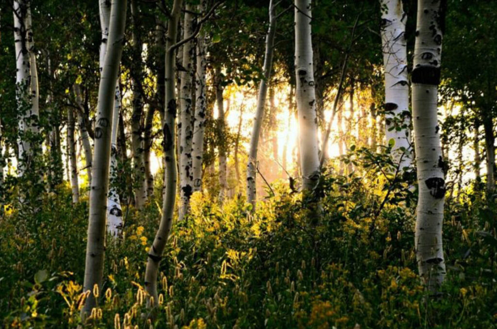 Burch trees and shrubbery with the sun shining through is a common sight in Utah.Nikki Dorber/The Signpost
